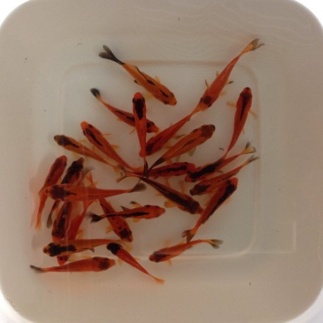 Pesce rosso red black carassio red black cm 4 7 for Pesce rosso butterfly
