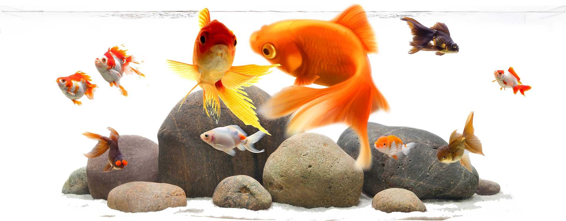gold-fish-slider1