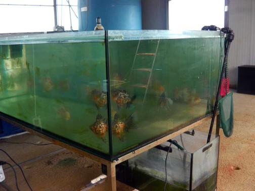 gold-fish-italia-riproduzione (7)