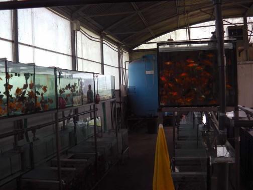 gold-fish-italia-stabulazione (2)