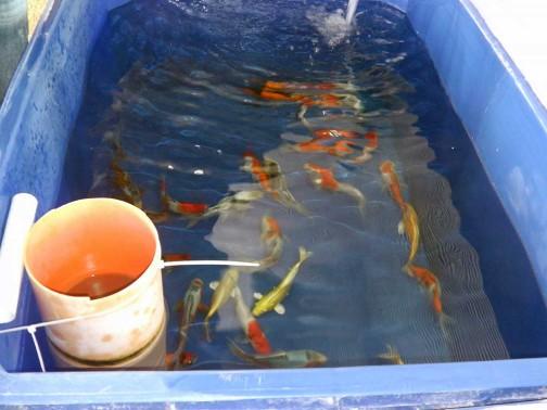 gold-fish-italia-stabulazione (3)