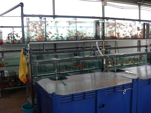 gold-fish-italia-stabulazione (4)