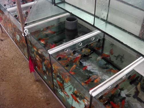 gold-fish-italia-stabulazione (6)