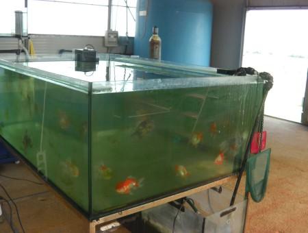 gold-fish-italia-gallery (20)